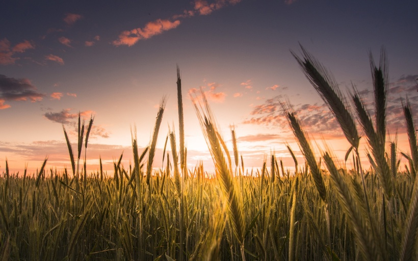Wheat-field-sky-clouds-sunset_1920x1200